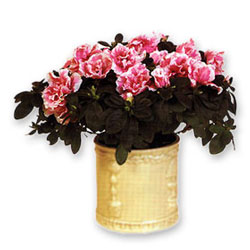 This elegant azalea is a wonderful present for someone close for you