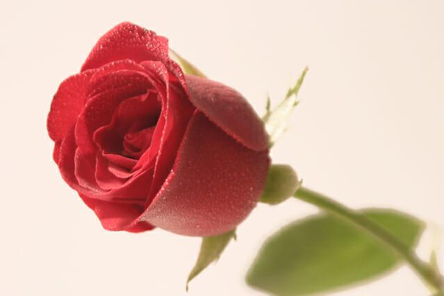 rose-1396211-639x426
