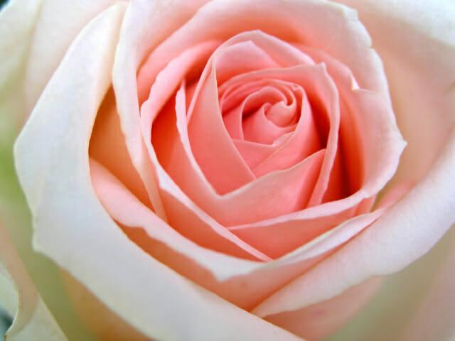 rose-1505773-640x480