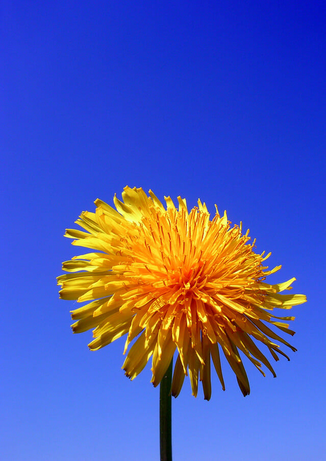 dandelions-new-1-1540846-639x901