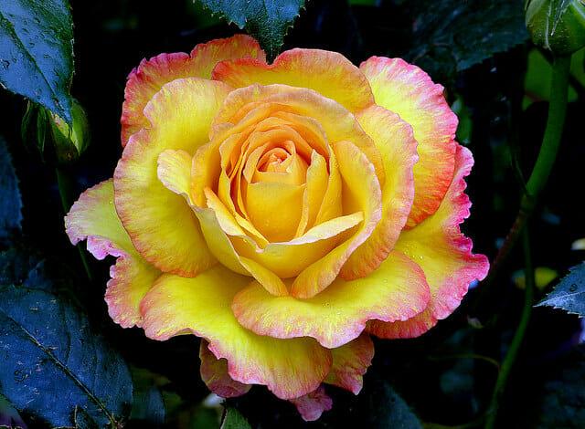 Современные розы