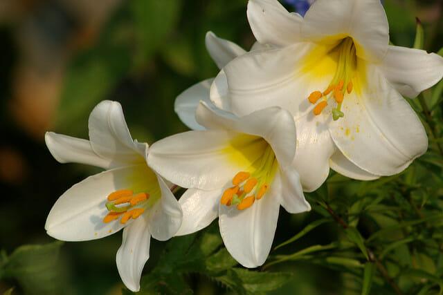 White Flowers for Rosh Hashanah - Lilies