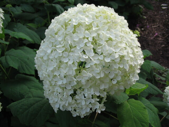 White Hydrangea before going into a bouquet