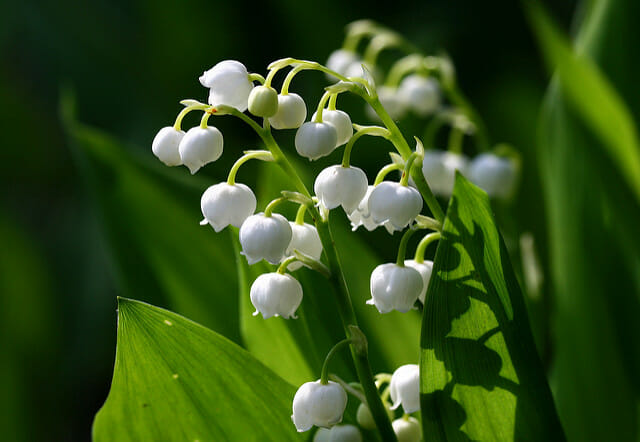 Lily of the Valley: May birth month flowers