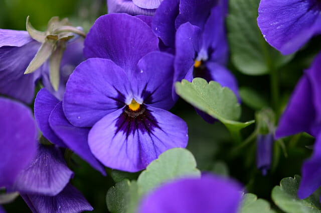 Violets: February birth month flowers