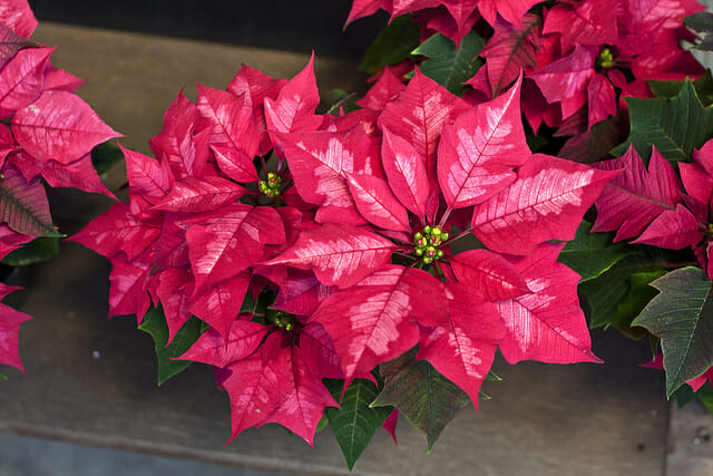 Poinsettia: December birth month flowers