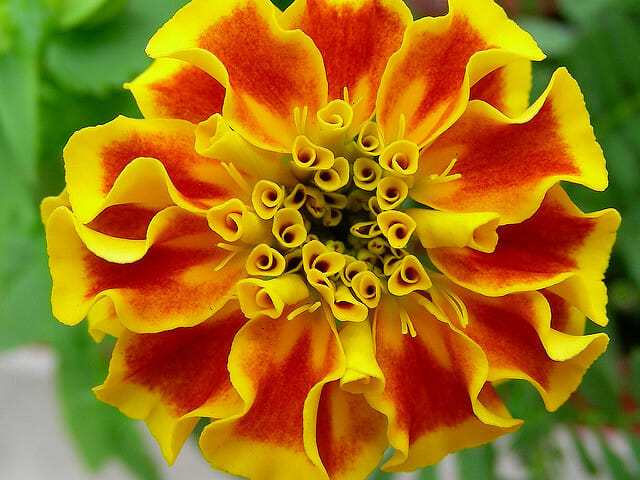 Marigold: October birth month flowers