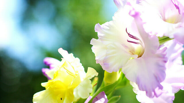 Most popular flower for New Year in Brazil: Gladiolus & Rose