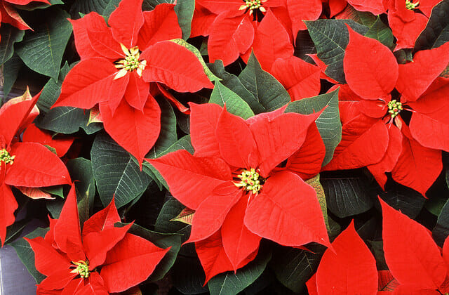 Poinsettia history we bet you didn't know!