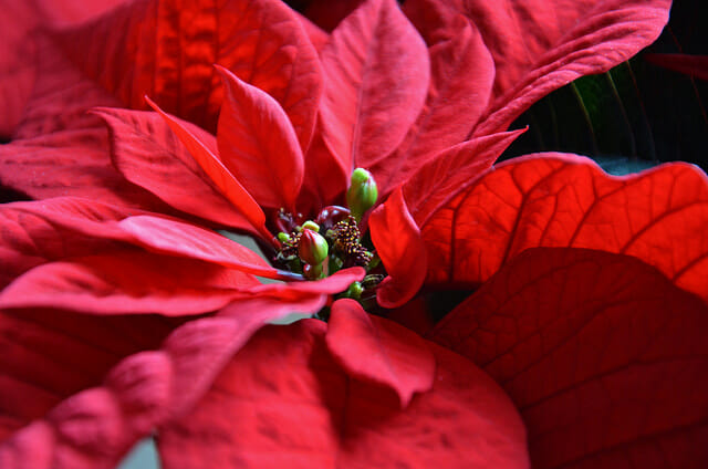 Poinsettia history: Joel R. Poinsett cultivated it outside of Mexico