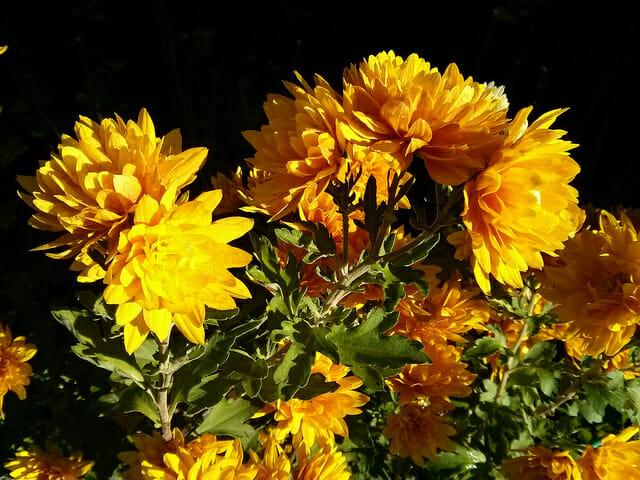 Most popular New Year flower in China: Chrysanthemum