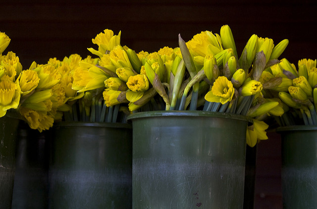 Daffodils are the Birth Flower for March