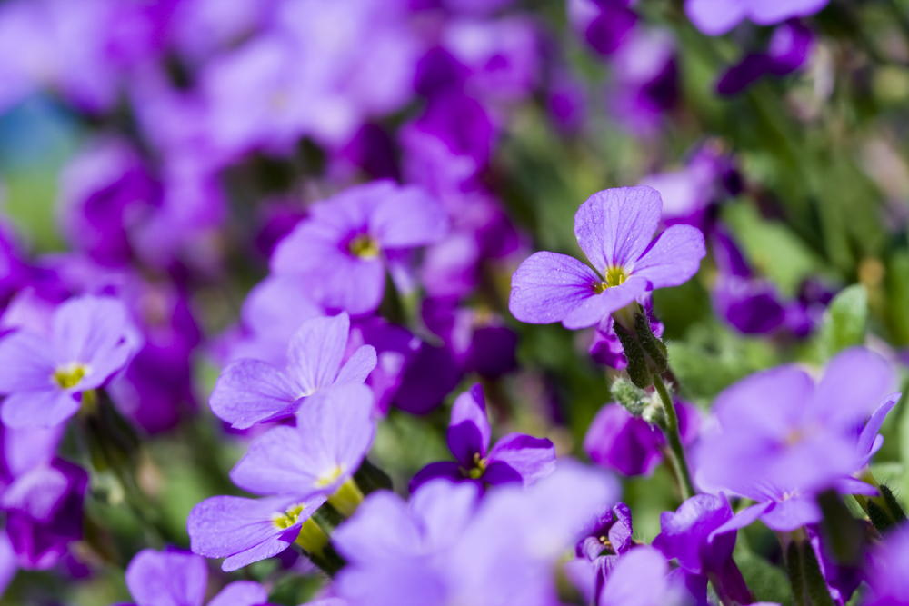 Violet: The February Birth Month Flower