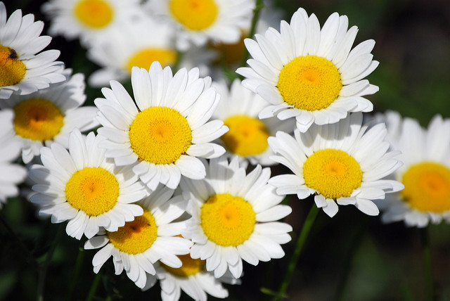 Daisy - The Birth Flower for April