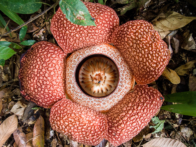 Corpse Lily (Rafflesia arnoldii)