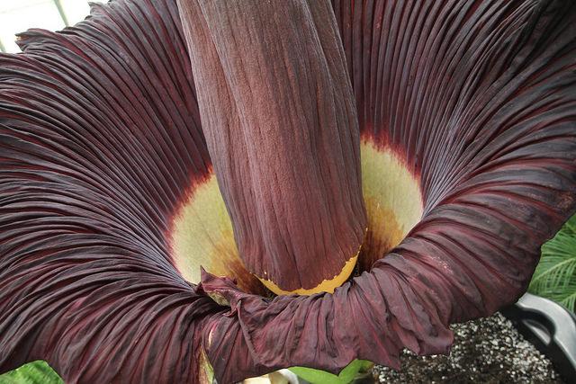 Corpse Flower (Titan Arum)