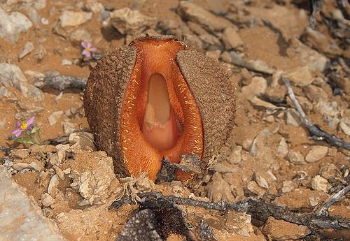 Subterranean Plant (Hydnora africana)