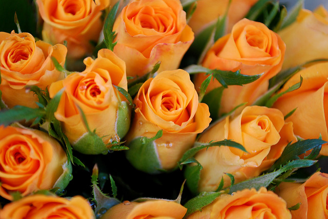 Roses - the birth flower for June in buds