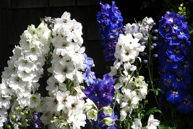 Birth Flowers for July: Delphinium or Larkspur