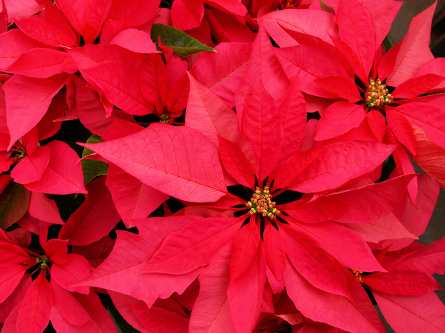 Mexico's Christmas Flower: Poinsettia