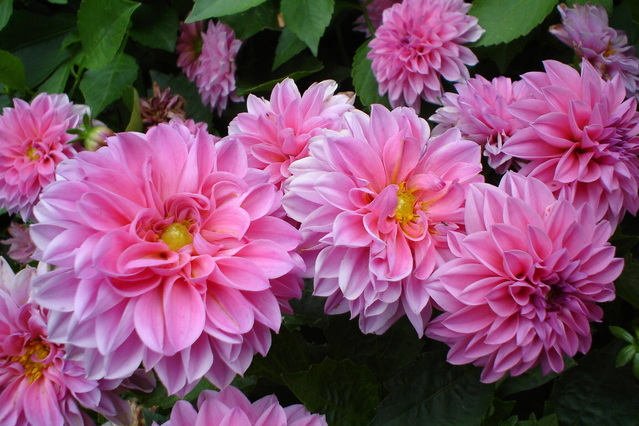 Mexico's most popular flowers: Dahlia