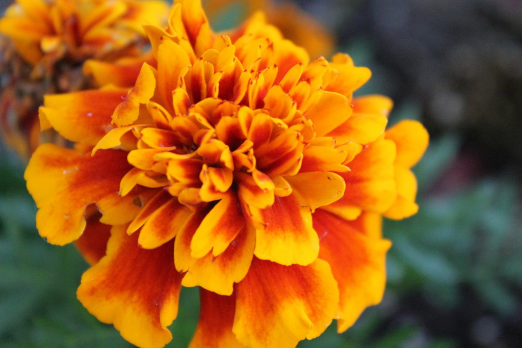 Mexico's most popular flowers: Marigold