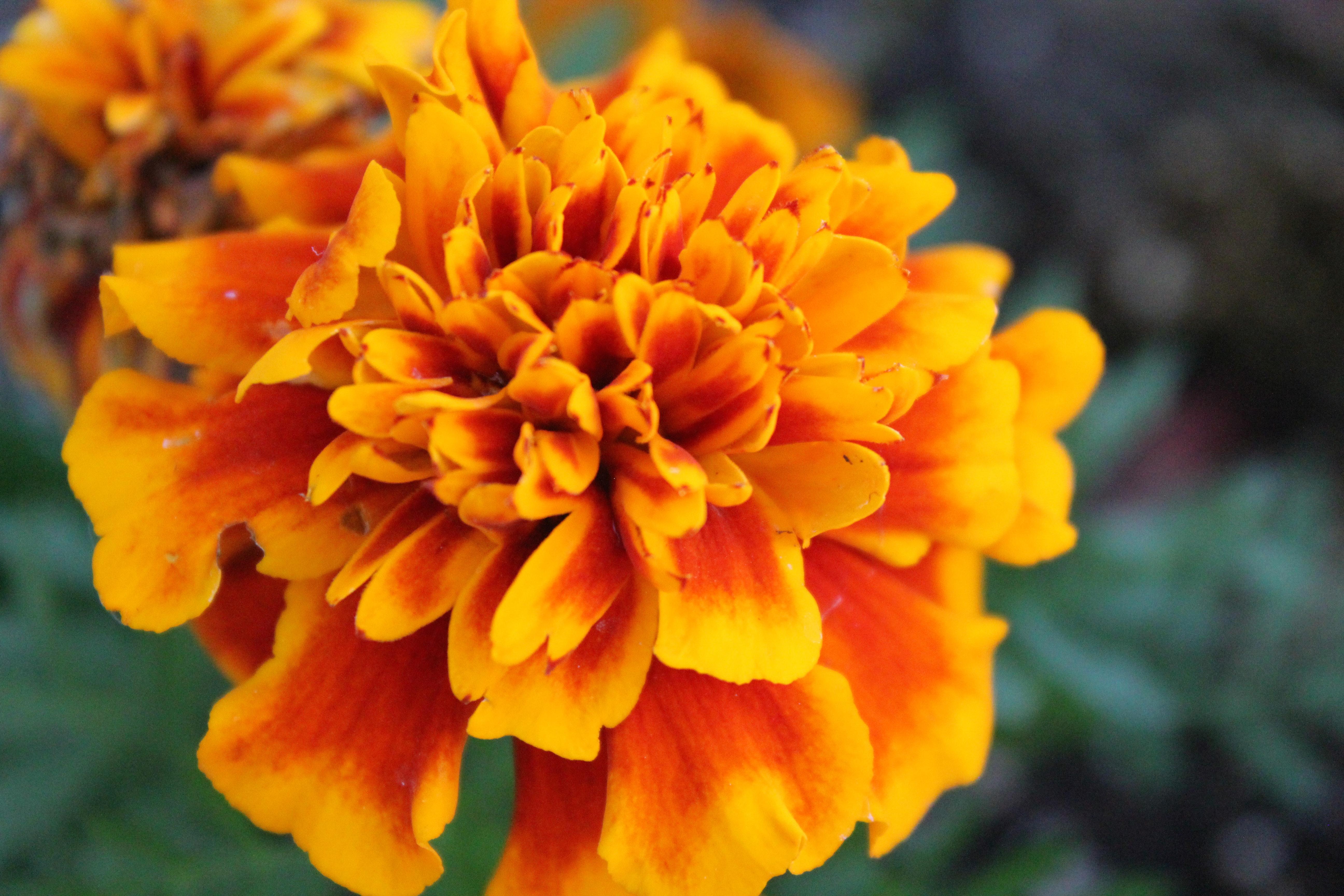 October birth flower the marigold russian flora blog russian october birth flower the marigold russian flora blog russian flora blog izmirmasajfo