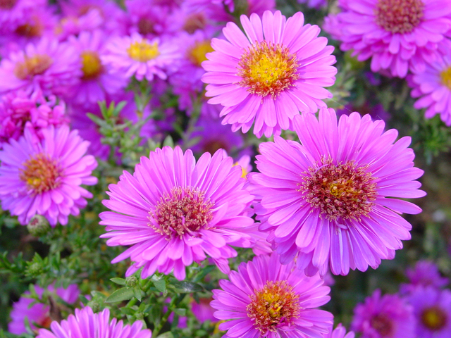 Asters, September's birth flower, are perfect in an autumn birthday bouquet