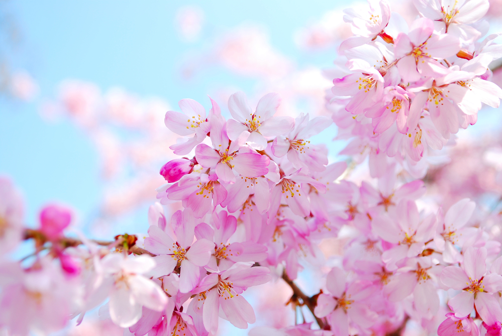 China's national favorite flowers are plum blossoms, peonies, chrysanthemum, azaleas, and orchids