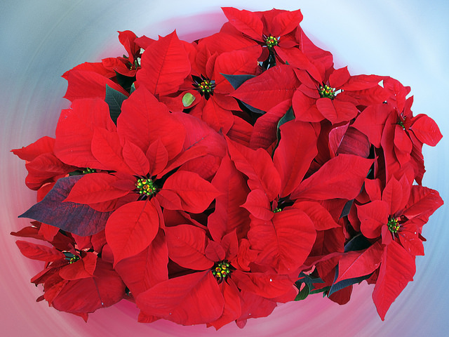 The December birth flower is a great Christmas gift