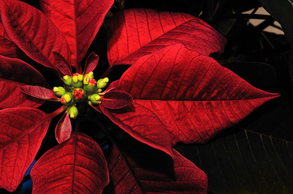 Poinsettia - the December birth flower