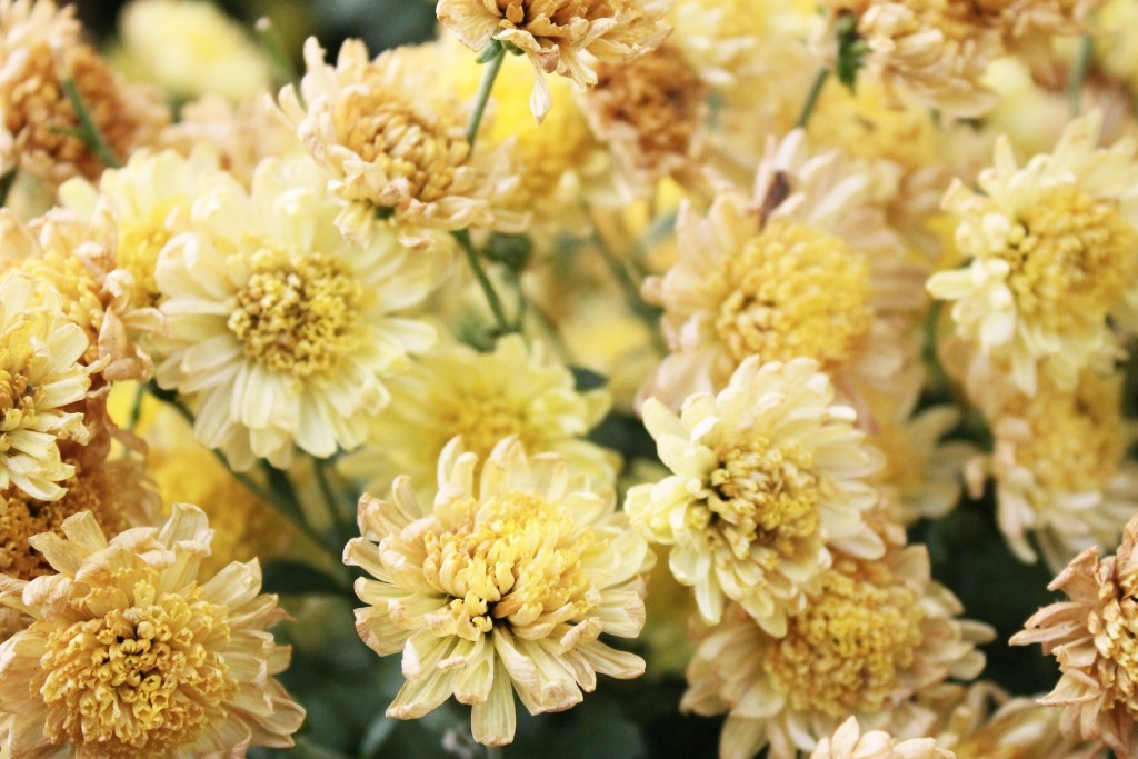 November Birth Flower-Mums have a long history