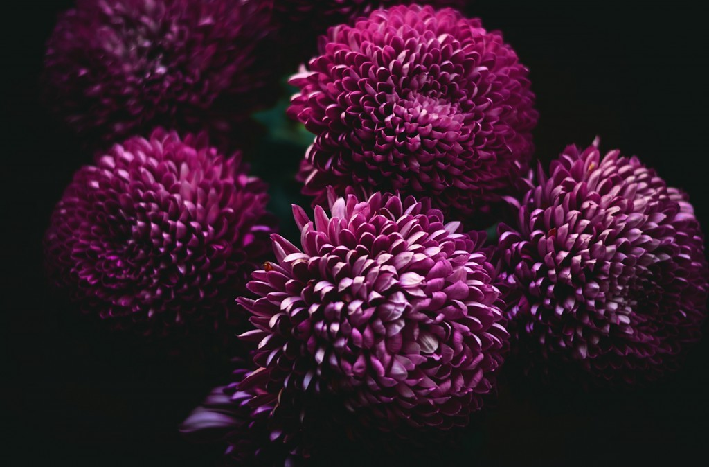 November Birth Flower-Purple mums are great get well flowers