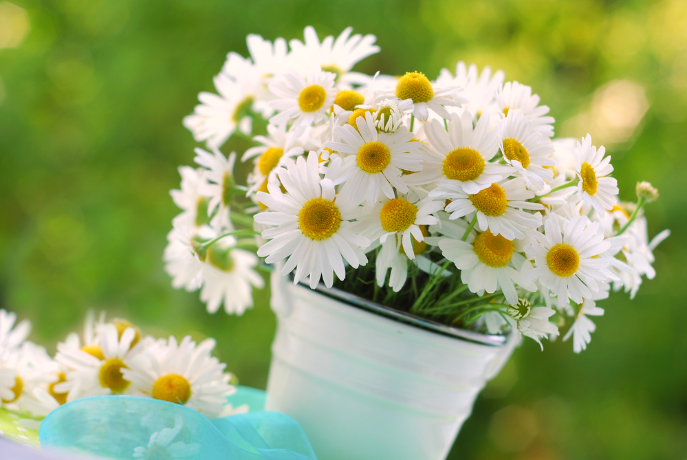 Russia's National Flower: Chamomile -- Russian Flora Blog