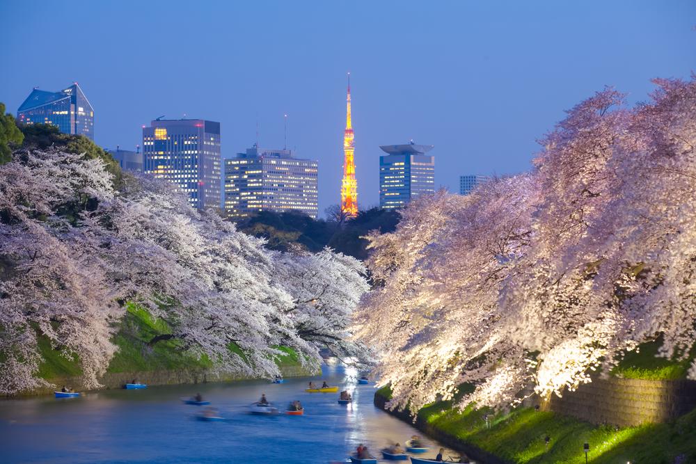 Sakura Cherry Blossom Night Viewing in Tokyo