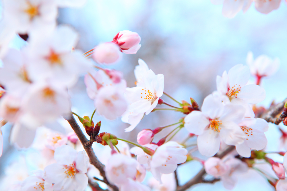 Plum Blossom: China's National Flower