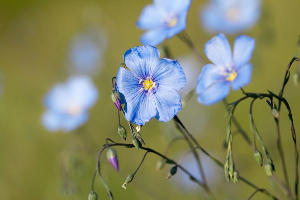 Wild Western Blue Flax flowers or Linum lewisii 1