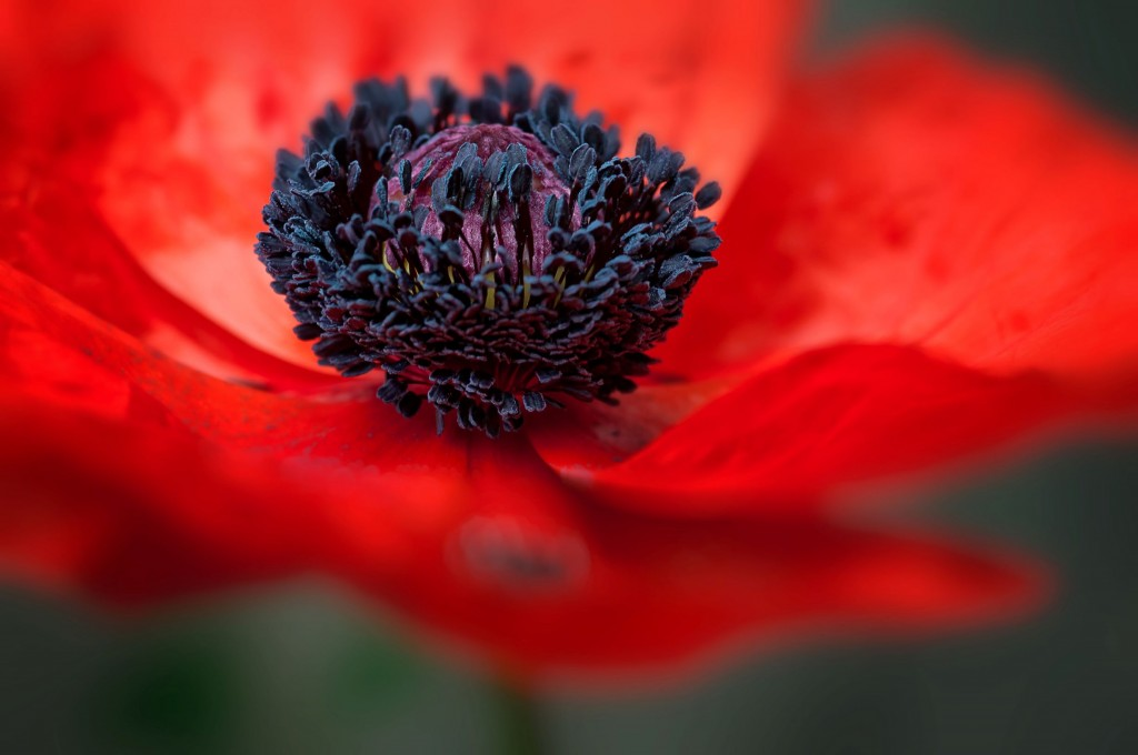 Poppy Closeup 1