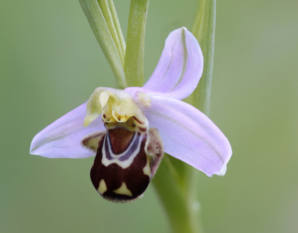 Bee orchid (Ophrys apifera) in Monte Catalfano (Sicily), temperate climate Orchideacea, common in the Meditearranean region