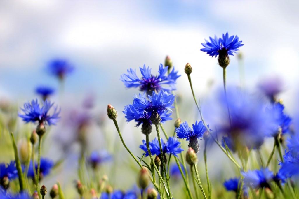Field of Cornflowers